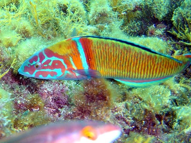 Fredi imagen animalandia - Fotos de peces del mediterraneo ...