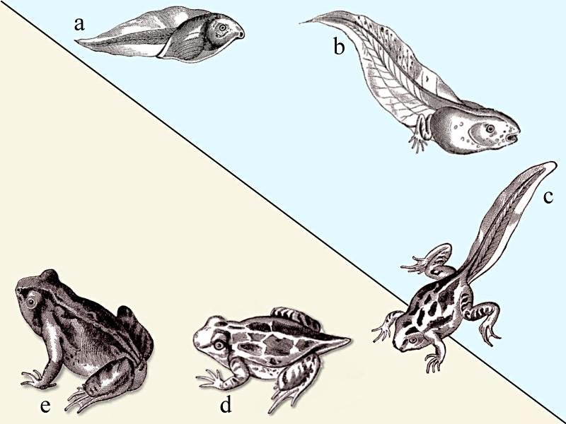Salamandra común (información taxonómica - Clase Amphibia ...