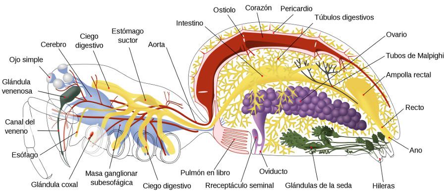 Araña cangrejo Xysticus cristatus (información taxonómica - Orden ...