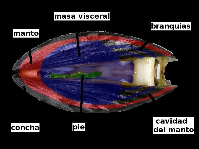 Mejillón común (información taxonómica - Clase Bivalvia) | Animalandia.