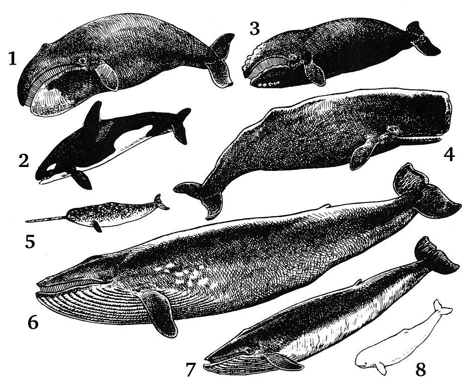 Ballena azul (información taxonómica - Orden Cetacea) | Animalandia.