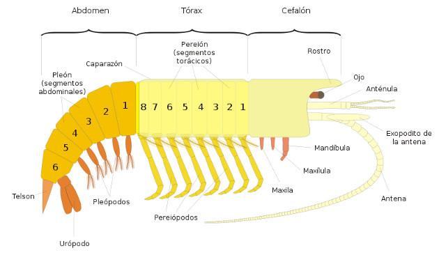 Cangrejo de río americano (información taxonómica - Clase Crustacea ...
