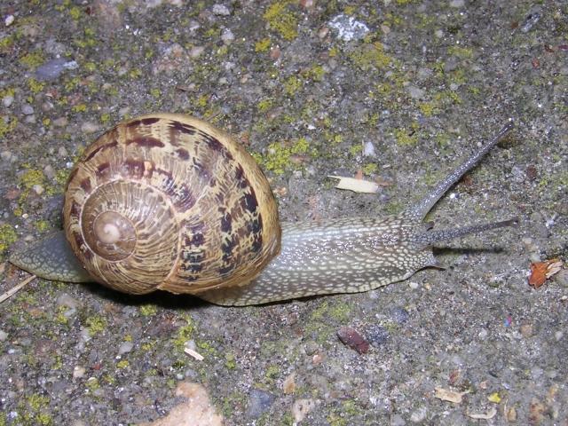 El rinc n de los caracoles for Caracol de jardin que come