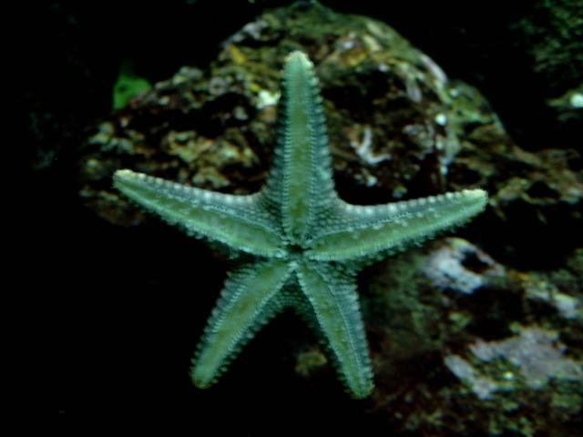 Estrella De Mar Europea
