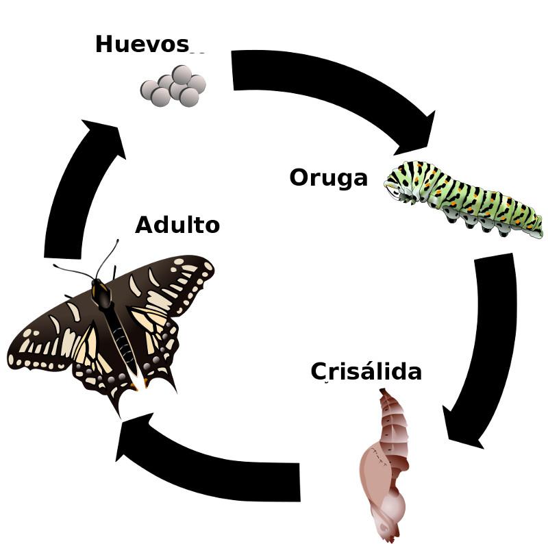 Mariposa pavo real (información taxonómica - Orden Lepidoptera ...