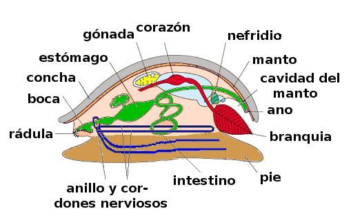 Sepia común (información taxonómica - Phylum Mollusca) | Animalandia.