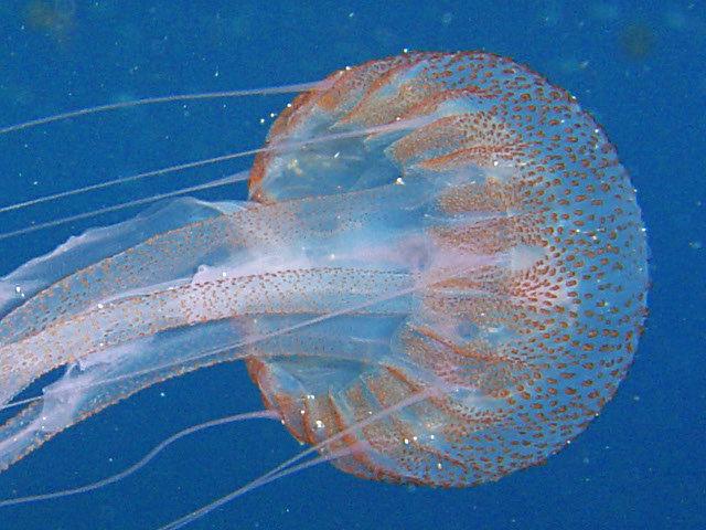 Imagen De Medusa: Medusa Luminiscente (imagen)