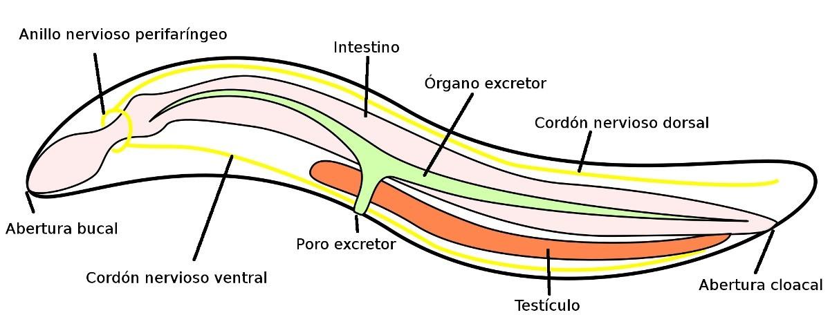 Lombriz intestinal grande (información taxonómica - Phylum Nematoda ...