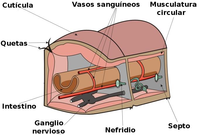 Lombriz de tierra (información taxonómica - Clase Oligochaeta ...