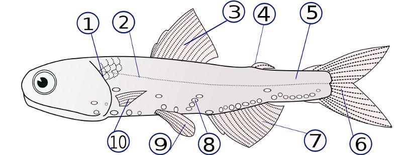 Cachama negra (información taxonómica - Superclase Peces) | Animalandia.