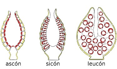 Porifera Taxones Animalandia