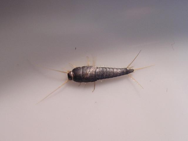 Pececillo de plata im genes animalandia for Pececillo nuevo de cualquier especie