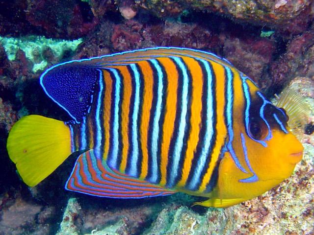 Pez 225 Ngel Real Imagen Animalandia