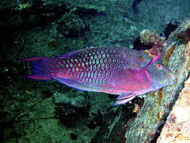 Amigos animales pez loro - Peces tropicales fotos ...