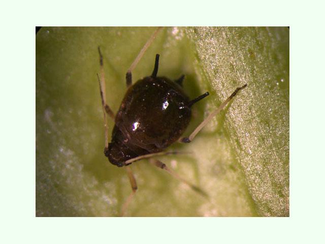 Macetohuerto paso a paso cultivar hierbabuena en maceta - Pulgon en plantas ...