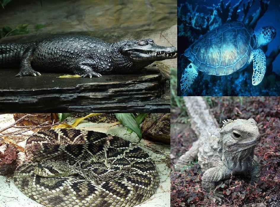Tortuga gigante de Galápagos (información taxonómica - Clase ...