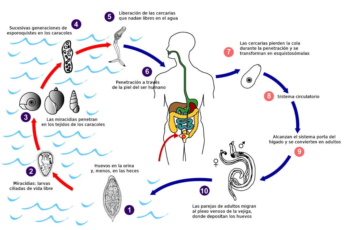 Ciclo Vital De Schistosoma Haematobium