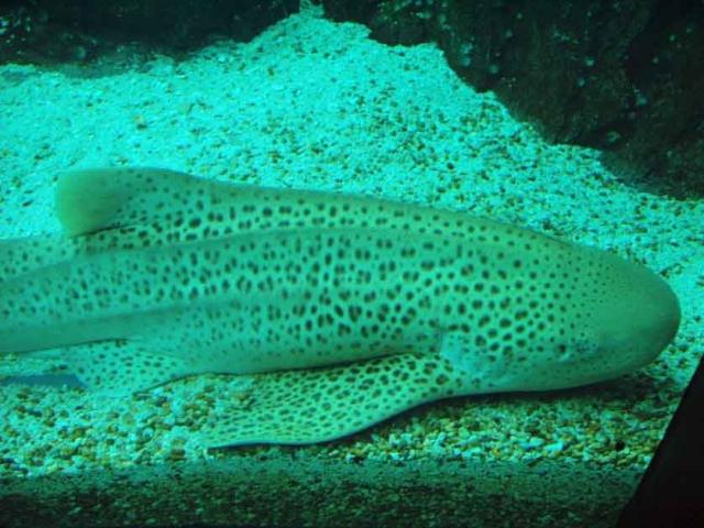 tiburon, cebra, partenogenesis, reproduccion, asexual, hembra