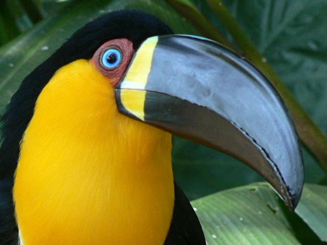 Tucán de pico acanelado (imagen) | Animalandia. Animal