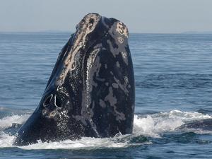 ballena franca del norte