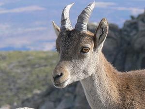 Cabra hispánica
