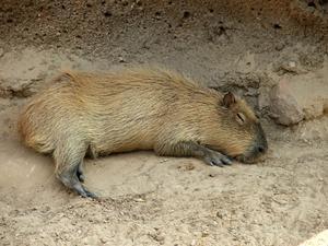 Es el roedor de mayor tamaño, hasta 60 kilos de peso, y está