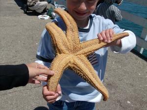 de La mar se asexualmente estrella reproduce
