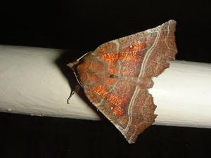 Hersiliola macullutata