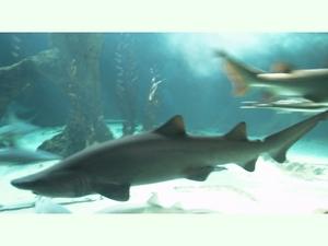 [Imagen: tiburon_toro.jpg]