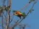 Abejaruco<br />(Merops apiaster)