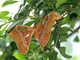 Atlas<br />(Attacus atlas)