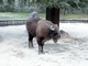 Bisonte europeo<br />(Bison bonasus)