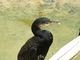 Cormorán grande<br />(Phalacrocorax carbo)