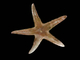 Estrella irregular<br />(Astropecten irregularis)