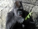 Gorila occidental<br />(Gorilla gorilla)