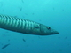 Gran barracuda<br />(Sphyraena barracuda)