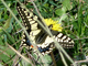 Macaón<br />(Papilio machaon)