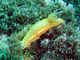 Nudibranquio real<br />(Felimare picta)
